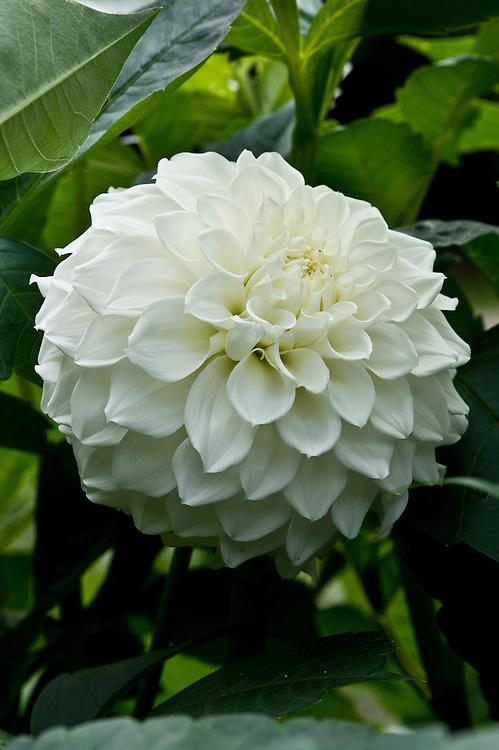 Dahlia 'Stevan's White', early September.