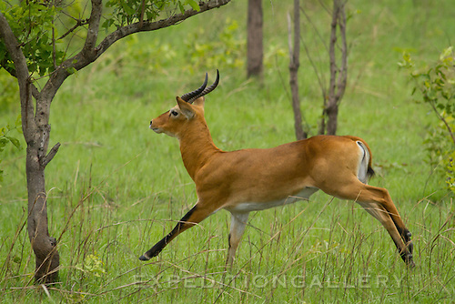 Kob antelope, Shai Hills Reserve near Accra, Ghana.
