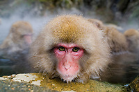 Japanese Macaque (Snow Monkey) in hotspring, Macaca fuscata, Jigokudani Yaenkoen, Japan