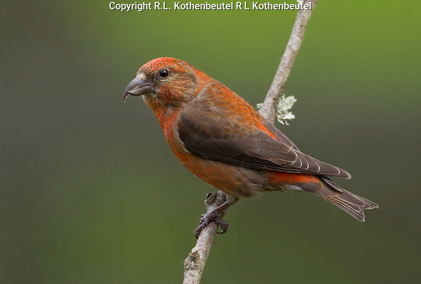 Red crossbill (Loxia curvirostra) Adult male in full breeding plumage perched on a small twig.<br /> Woodinville, King County, Washington State<br /> 5/27/2012