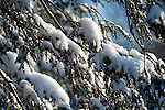 Fresh snow on Balsam Fir tree