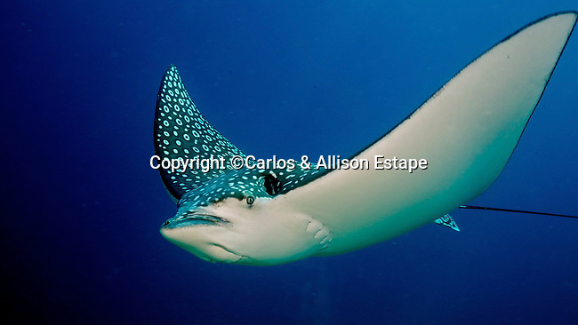 Aetobatus narinari, Spotted eagle ray, Florida Keys
