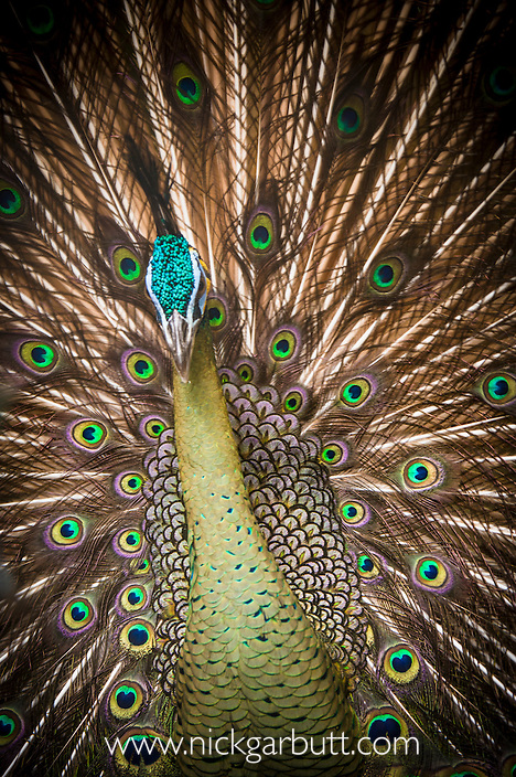 Male Green Peafowl (Peacock) (Pavo muticus) displaying to female. From riverine forest areas and montane grassland in Burma, Thailand, Vietnam, Loas and Sumatra.