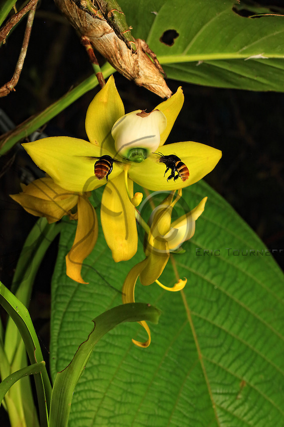 Solitary bees of the Eulaema marcii family gather nectar from a Cochleanthes lipscombiae orchid (Cycnoches). One is transporting a mass of pollen from a Notylia orchid.///Des abeilles solitaires Eulaema marcii butinent le nectar d'une orchidée Cochleanthes lipscombiae (Cycnoches) . L'une transporte une masse de pollen d'une orchidée  Notylia.