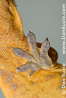 Left front foot pads of New Caledonian Crested Gecko, Rhacodactylus ciliatus, also called Guichenot's Giant Gecko or Eyelash Gecko.  Microscopic setae and spatulae on the gecko's feet allow it to walk on almost any surface.  Endemic to New Caledonia in the South Pacific, the crested gecko was thought extinct until it was rediscovered in 1994.  It is now one of the most commonly kept species of gecko in captivity.  .