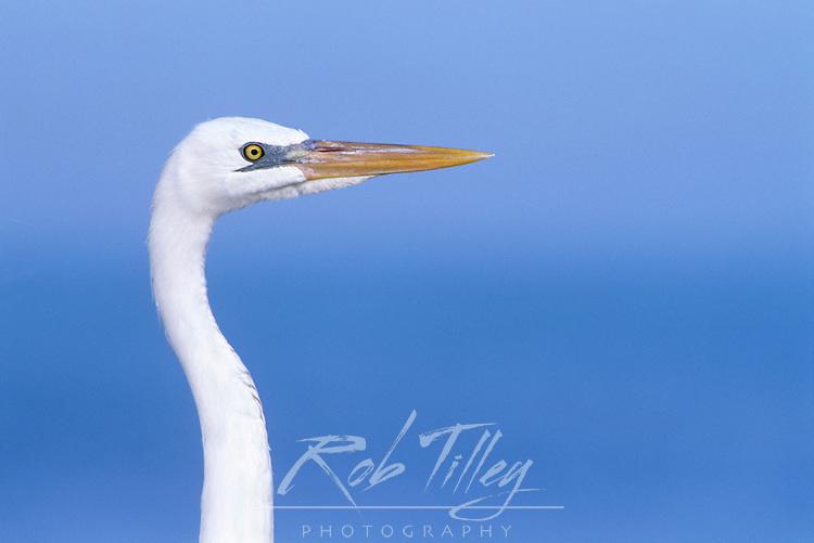 Great White Heron, Sanibel, FL, USA