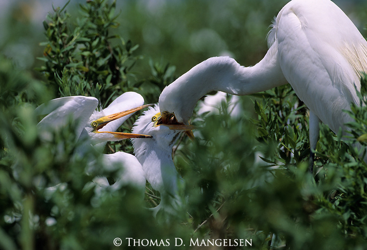 Great Egret feeding chicks.