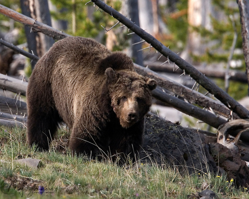 """This grizzly bear (Ursus arctos horribilis), with his distinctive scars is an iconic sight in Yellowstone. He is known as """"Scarface"""" to Park regulars. The injuries were most likely the result of a fight with another bear, probably a female protecting cubs. Look for him from Mount Washburn through the Canyon area and Hayden Valley."""
