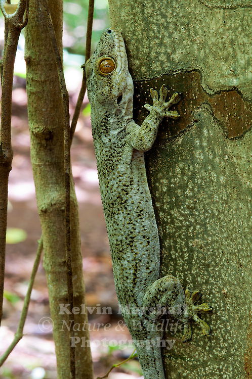Homopholis is a genus of African geckos, commonly known as Velvet Geckos. This species Homopholus boiviniana has just recently changed its name to aglodactilys. Amber Mountain National Park - Northern Madagascar.
