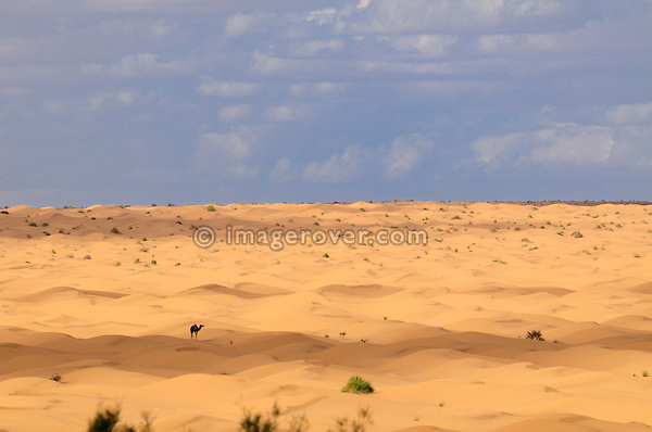 Africa, Tunisia, nr. Ksar Rhilane. Camel within the desert dunes of the Grand Erg Oriental.