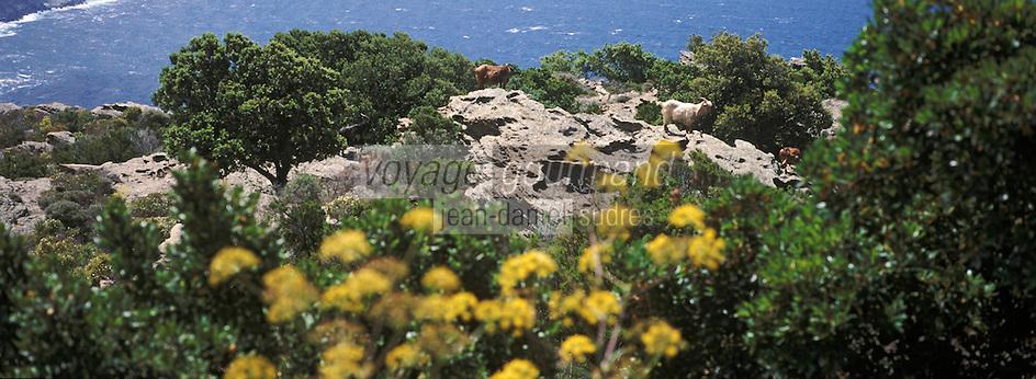 Europe/France/Corse/2B/Haute-Corse/Cap Corse/Env. de Canari: Chèvres en pâturage dans le maquis