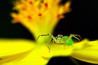 Lyssomanes é uma aranha gênero do Salticidae família (aranhas saltadoras). Cerca de 80 espécies foram descritas, que vão desde do Sul e América Central , até o sul dos Estados Unidos . Eles são de pernas longas, com corpos translúcidos freqüentemente verdes ou amarelos.  <br /> Belém, Pará, Brasil.<br /> Foto Carlos Borges