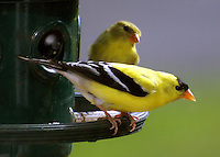 "A male and felmale goldfinch sitting on a green feeder-ring. The male is about to take flight and the female is watching him, with an almost ""you go big-guy-epression"" on her fact."