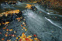 Sugar maples leaves and Bridal Veil Creek<br /> Bedford Reservation,  Metroparks<br /> Cuyahoga Valley National Park<br /> Cuyahoga County,  Ohio