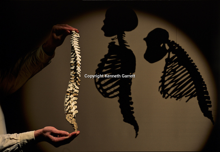 DOH, The First Steps,Australalopithecus afarensis, Reconstructed spine shadowed by silhoettes of modern human  and forward leaning chimpanzee shows that species walked upright
