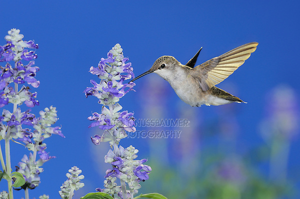 Black-chinned Hummingbird (Archilochus alexandri), female in flight feeding on Blue Sage (Salvia sp.), Gila National Forest, New Mexico, USA