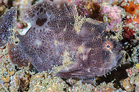 Ocellated or Lembeh frogfish, Nudiantennarius subteres, Lembeh Strait, North Sulawesi, Indonesia, Pacific