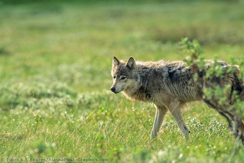 Gray wolf walks across the summer tundra, Denali National Park, Alaska