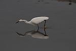 FB-S156  front photo.  4x6 postcard.  Snowy egret.  Crop in around egret.