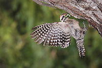 Ladder-backed Woodpecker, Picoides scalaris, male in flight leaving nesting cavity, Willacy County, Rio Grande Valley, Texas, USA, June 2006