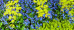Vashon, Washington:<br /> Spring colors of Japanese maple branches overhang ground cover of flowering navelwort (Omphalodes cappadocica) and Golden creeping Jenny (Lysimachia nummularia)
