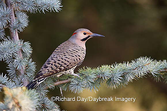 01193-014.01 Northern Flicker (Colaptes auratus) male on Blue Atlas Cedar (Cedrus atlantica 'Glauca')  Marion Co.  IL