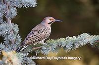 01193-014.01 Northern Flicker (Colaptes auratus) male on Blue Atlas Cedar (Cedrus atlantica 'Glauca')  Marion Co.  IL