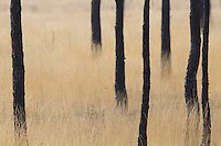 Scorched trees and grasses. Upton Heath, Dorset, UK.