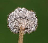 Ear Pick Fungus - Auriscalpium vulgare
