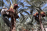 Palestinian farmers harvest dates from palm trees during harvest in Deir al-Balah in the central Gaza Strip Sept. 30, 2010 . Photo by Mohammed Asad