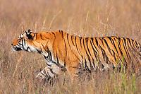 Bengal tiger, Indian tiger, Panthera tigris tigris, camouflaged in grass, Bandhavgarh National Park, endangered, India