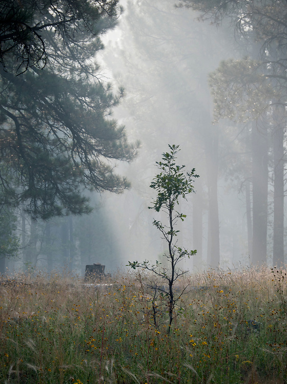 A lone tree in the smoky Kaibab National Forest near White Horse Lake in northern Arizona, USA