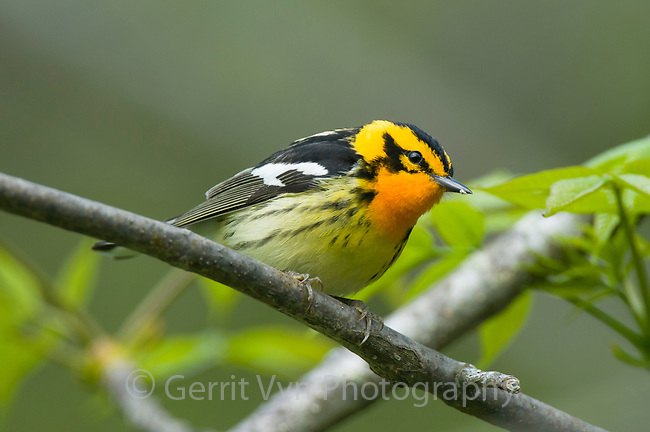 Adult male Blackburnian Warbler (Dendroica fusca) in breeding plumage. Tompkins COunty, New York. May.
