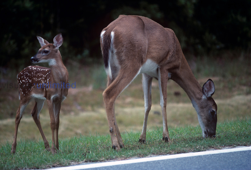 White-tailed Deer doe and fawn next to a highway ,Odocoileus virginianus,, Okefenokee National Wildlife Refuge, Georgia, USA.