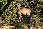 ELK COW GRAZING in the forests surrounding the GRAND CANYON<br />  <br /> The elk or wapiti (Cervus canadensis) is one of the largest species of deer in the world, and one of the largest land mammals in North America and eastern Asia <br /> (2)