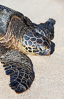 Close-up of a Hawaiian green sea turtle (honu) on Papa'iloa Beach, North Shore, O'ahu.
