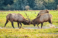 Deer and Elk Family (Cervids)