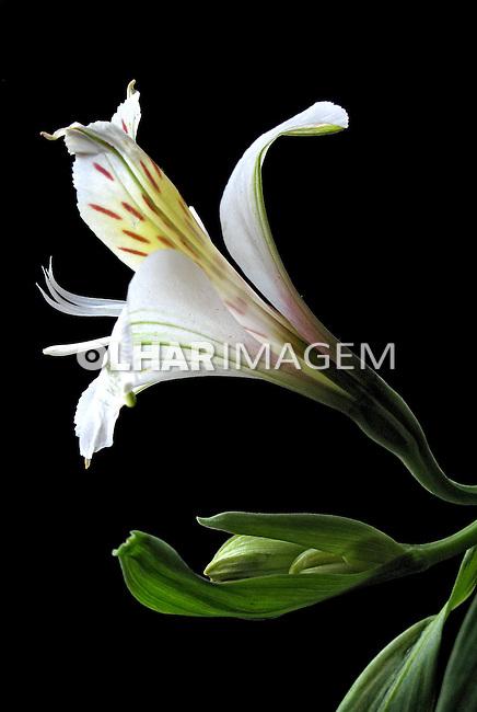 Flor Astromélia ( Alstroemeria hybrida). SP. Foto de Manuel Lourenço.