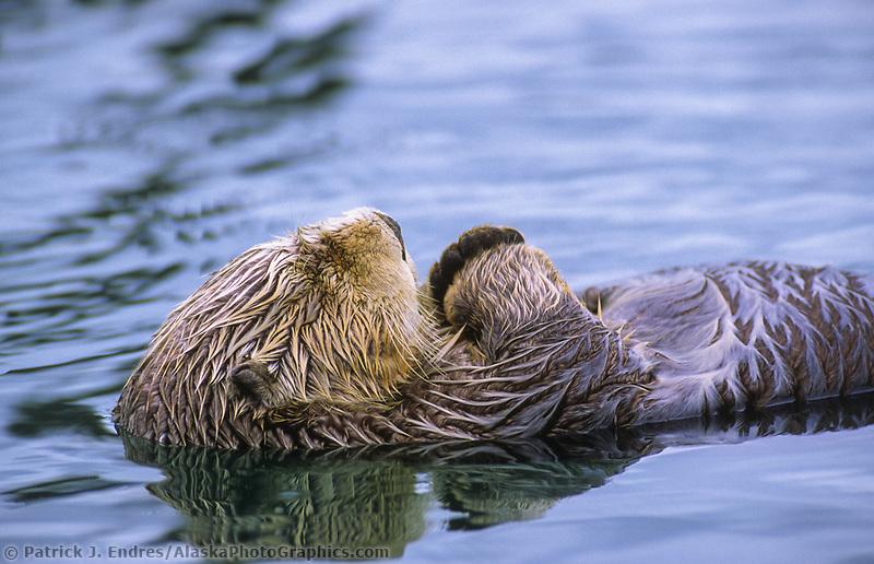 Sleeping sea otter, Cordova, Alaska