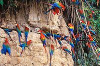 Green-winged Macaw (= Red and blue Macaw)(Ara chloroptera) and Scarlet Macaw (Ara macao) at a clay lick.<br /> Manu National Park, Peru