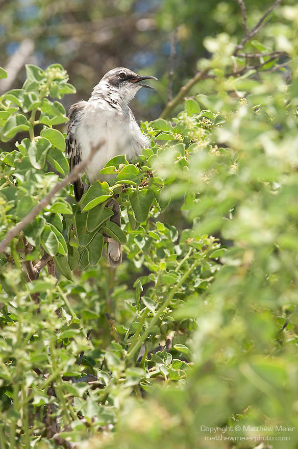 Santa Fe Island, Galapagos, Ecuador; a Galápagos Mockingbird (Nesomimus parvulus) perched on a branch, with it's beak open in song, the Galapagos Mockingbird descended from the Ecuadorian Long-tailed Mockingbird. There are three other species of mockingbirds found on the Galapagos Islands, but the Galapagos Mockingbird is the first one that was found in Darwin's trip to the islands in 1835. They had a greater influence than any other animal on Darwin's theory of evolution when he arrived there because it was the first species that Darwin noticed distinct differences among when he looked from island to island. It has a very clear call that sometimes varies, but unlike other mockingbirds, Galápagos mockingbirds are not mimics. , Copyright © Matthew Meier, matthewmeierphoto.com All Rights Reserved