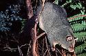 Bobuck or Mountain Possum (Trichosurus cunninghamii) Central Highlands, Victoria.