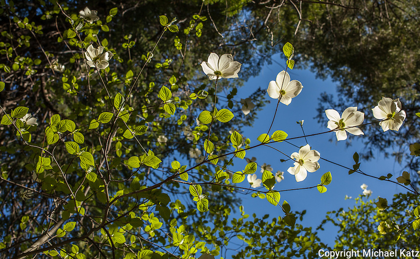 Dogwoods and Sky