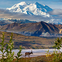 Summer/ early Fall-Autumn lanscape of one caribou standing on tundra with the North side of Denali (Mt. McKinley) in Denali National Park at Camp Denali.  August  Summer  Interior, Alaska
