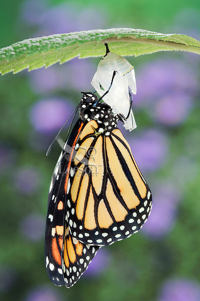 MONARCH BUTTERFLY life cycle..Drying Wings on Joe-Pye Weed  leaf. .North America. (Danaus plexippus).