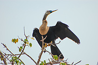 Also known as the snakebird, the anhinga is a common fish-eating bird found along the coasts and interior of Florida and as far south as the Southern Amazon in Brazil. This female is in full breeding plumage on a warm spring day in Fort Myers, Florida. Note that beautiful blue eye-ring!