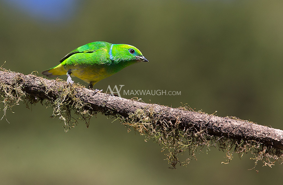 This was my first time photographing this beautiful species in the central highlands.