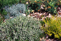 MIXED Heath and heathers in garden growing together: white flowering Erica carnea in bloom, yellow-leaved Calluna vulgaris 'Beoley Gold' and in rear, Heath with grayish blue leaves Calluna vulgaris 'Silver Knight'