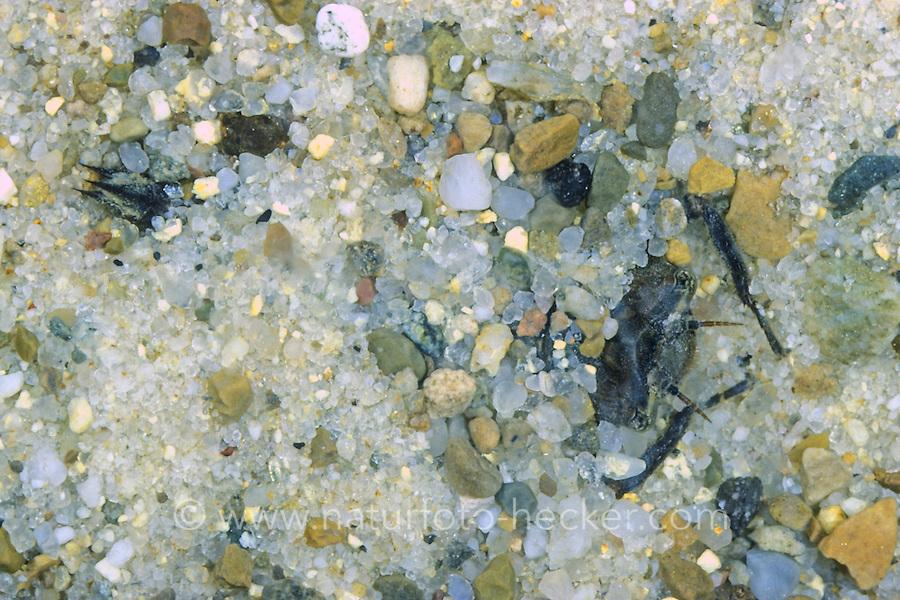 Gestreifte Quelljungfer, Larve im Sand verborgen lauert auf Beute, Cordulegaster bidentata, Sombre Goldenring, Two-toothed Goldenring, larva, larvae