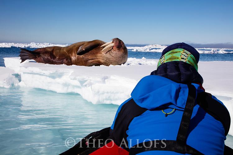 Norway, Svalbard, tourist in zodiac approaching walrus on ice floe, Odobenus rosmarus